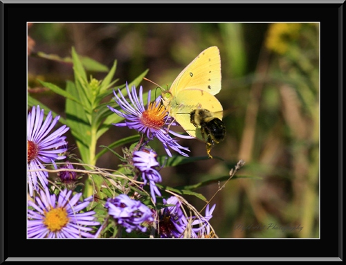 Bee_and_Orange_Sulphur