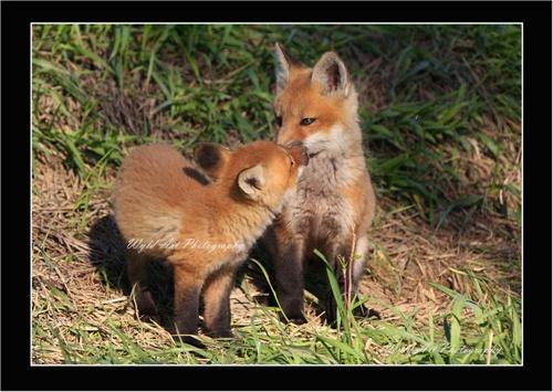 Fox_Kits