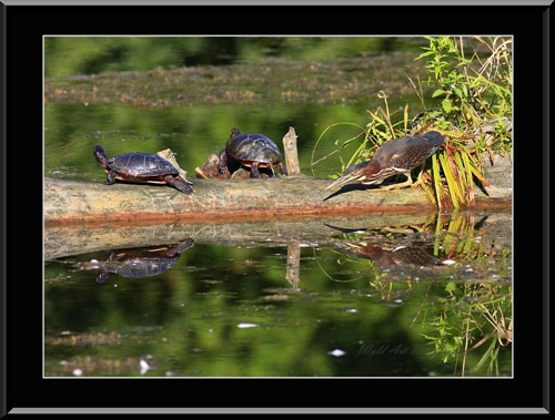 Green_Heron_and_Turtles