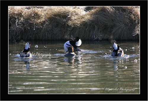 Hooded_Mergansers