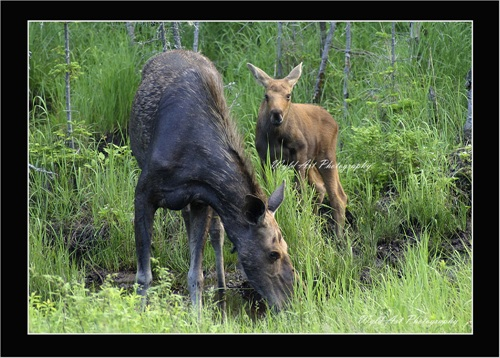 Moose-Cow_and_Calf