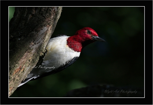 Red-headed_Woodpecker