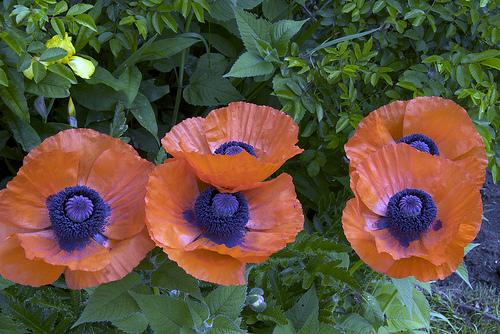 oranjevi cvetq