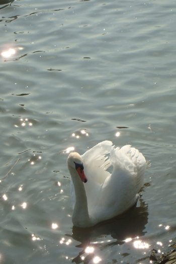 A swan swimming in the waters of the Radipole nature reserve