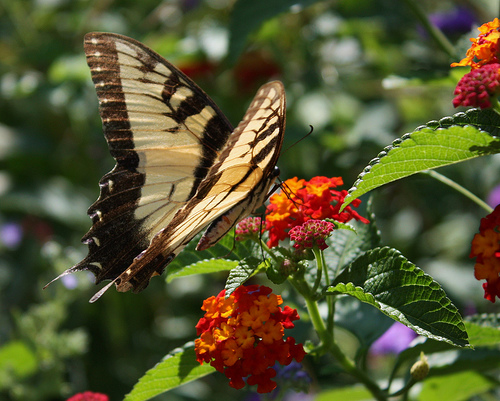 Dumbarton Oaks Swallowtail