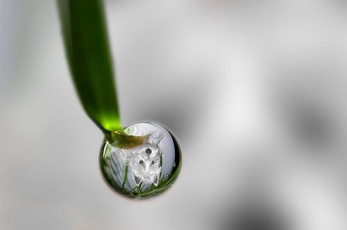 Wee Westie Water Drop