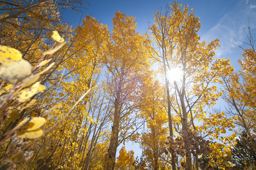 GRIGSBY_Aspens: Looking up at sun and color. This was shot as I was laying on the ground in an old cemetery in Central City, Colo. The light seemed to